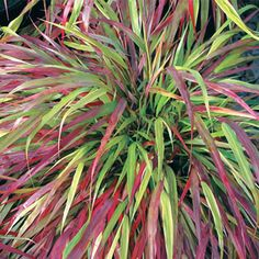 Benikaze Japanese Forest Grass. Flowing green leaves turn brilliant red in fall. At 2-3' tall, this grass is beautiful cascading down a bank or retaining wall and thrives even in full shade which is unusual for grasses. Also nice as a ground cover or container planting.