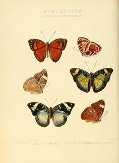 Illustrations of new species of exotic butterflies v.3 London :John Van Voorst,[1856]-1876.