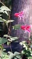 Princess Diana, clematis texensis, perennial vine