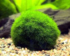MARIMO BALL: easy aquatic plant; will grow to 5 inches in diameter fastest in med-high light; can be propagated by division; beloved by aquatic shrimp and snails;  temperature 65F-80F; not picky about water parameters, thrives in low salinity brackish