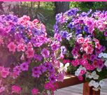 Hanging Baskets - Planting Info