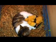 The Cat Who Mama'd Ducklings – The Raw Food World News