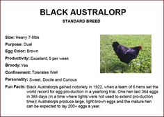 Chicken Breeds - Black Australorp
