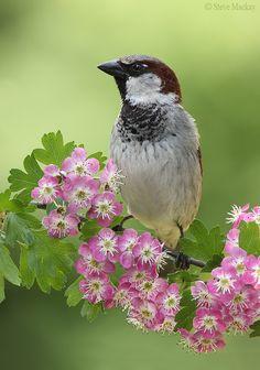 Sparrow on Pink Hawthorn by Steve Mackay