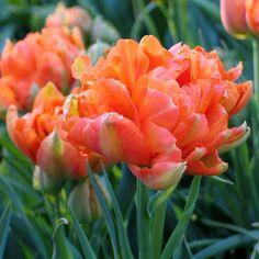 Double Early Tulip 'Monte Orange'