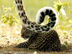 Leopard Cub Photograph by Beverly Joubert -Big Cats Initiative National Geographic's Learn how you can help save these animals Big Cats, Cool Cats, Cubs Pictures, National Geographic Tv Shows, Baby Animals, Cute Animals, Leopard Cub, Baby Leopard, Lion Cub