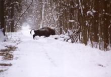 578 żubrów w Puszczy Białowieskiej