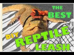 Learn how to make the best DIY harness leash for a reptile. Do-it-yourself instructional video: how to make a reptileash, comfort leash for a lizard. This is a perfect leash that can serve as a lizard leash, reptile leash, or small animal leash. I use this as a bearded dragon leash!