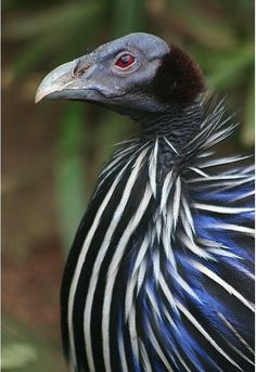 Galinha Vulturina - Aves Ornamentais - Outras Aves | Fazenda Visconde