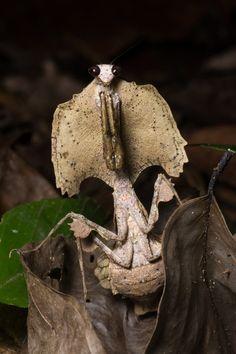 Leaf Mantis (Deroplatys trigonodera)