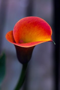 Calla lily……..WOW!! KATY (HEPBURN) SHOULD GET A GANDER AT THIS ONE……..ccp