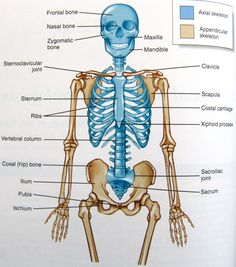 Printables Axial Skeleton Worksheet bones of the axial skeleton biologyanatomy pinterest human pictures copy half and have student use mirror image technique from week