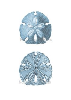 We have taken the original Sand Dollar 18th century black and white engraving, digitally enhanced it with ocean sea blues to create this lovely Blue Sand Dollar Print. Its beautifully detailed and shows every little stroke to perfection A blue sealife picture to blend perfectly with either your beach style bedroom or blue sealife powder room  GOOD TO KNOW THINGS - about your print Your print comes from an original antique print or vintage lithograph Scanned. Gicleé Printed onto Museum…