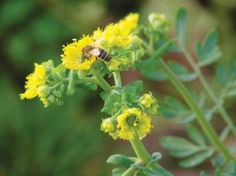 Common rue (Ruta graveolens) – also host plant for Common Yellow Swallowtail Butterfly