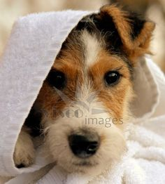 Fox terrier puppy in towel Stock photo by Ferenc Cegledi - Visco Images (Stock Photos, Vector Arts and More Visual Contents)