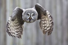 This is the Great Gray Owl. Find out more at: http://hootdiscoveries.com/pages/great-gray-owl