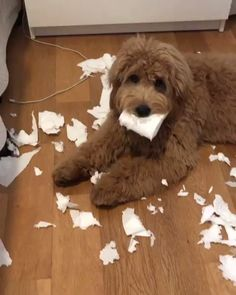 >>>> Dog Behavior and Training Funny Animal Videos, Cute Funny Animals, Cute Baby Animals, Funny Dogs, Silly Dogs, Cockapoo Dog, Goldendoodle Grooming, Mini Goldendoodle, Labradoodle