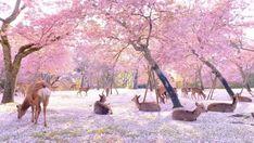 Video Shows Deer Enjoying The Cherry Blossoms In Nara Park, Japan | CutesyPooh