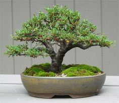 Bonsai Tree Care Patience Is A Virtue. Expert Bonsai Tree Ca Bonsai Tree Care, Bonsai Tree Types, Indoor Bonsai Tree, Bonsai Plants, Bonsai Garden, Garden Trees, Garden Planters, Plantas Bonsai, Ikebana