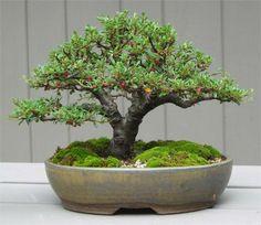 Cotoneaster-bonsai by Mike. Bonsai-art, bonsai-tree, bonsai