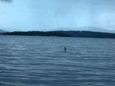 Common Loons Wail