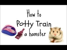 How to potty train a hamster - YouTube