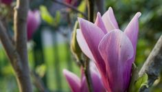 How to Grow Magnolia Trees