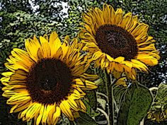 Peter Roome Sunflower  Used GIMP to create this.