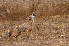 © 2008 Greg Cope. I used to fall asleep to the call of the coyotes.
