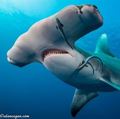Hammerhead shark with lampreys Underwater Creatures, Underwater Life, Ocean Creatures, Weird Creatures, Beautiful Sea Creatures, Animals Beautiful, Orcas, Water Animals, Sea And Ocean