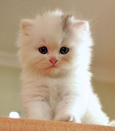 Adorable cute little white kitty looking so sweetly
