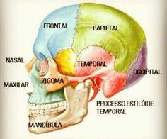 Basic Anatomy And Physiology, Brain Anatomy, Human Body Anatomy, Medical Anatomy, Medicine Notes, Medicine Student, Human Skeleton Anatomy, Skull Anatomy, Human Body Organs