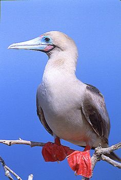 ♦ The Red-footed Booby is a large seabird of the booby family, Sulidae. As suggested by the name, adults always have red feet, but the colour of the plumage varies. They are powerful and agile fliers, but they are clumsy in takeoffs and landings.