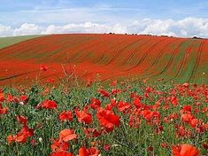 I think my obsession with poppies is a direct extension of my obsession with The Wizard of Oz. I think.