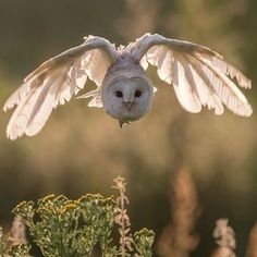 Barn Owl | Photo by © Laura Galbraith #Destination_wild