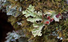 Lichen species - steveaxford