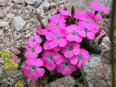Dianthus pavonius Tausch, via Flickr.