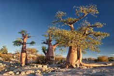 Kubu Island: A Desert Island of Baobabs and Ancient Fossils Cool Pictures, Cool Photos, Desert Island, Island 2, Stone Cairns, Baobab Tree, Dry Stone, Victoria Falls, Africa Travel