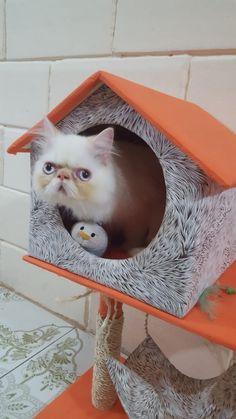 Criadero gatitos persas La casa de la MONITA Hermosa, Guayaquil Ecuador WhatsApp 0999750827 #autenticosgatitospersasec