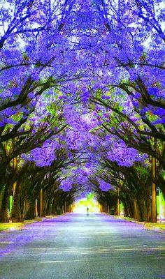 A beautiful tree tunnel! Beautiful World, Beautiful Gardens, Beautiful Images, Beautiful Flowers, Beautiful Nature Wallpaper, Beautiful Landscapes, Tree Tunnel, Colorful Trees, Purple Trees