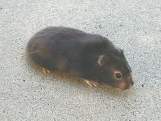 Long Haired Syrian Hamster Sable Female