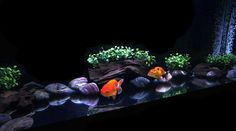 30 gallon Goldfish tank with 2 Japanese Ranchu Aquarium Design, Aquarium Setup, Aquarium Decorations, Home Aquarium, Aquarium Ideas, Goldfish Aquarium, Goldfish Tank, Saltwater Aquarium, Oranda Goldfish