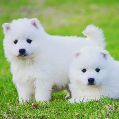 Japanese Spitz double trouble!