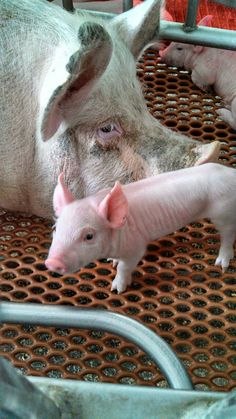 New baby pig and his mama