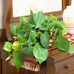 Heart-leaf philodendron is a durable foliage plant that has long been the backbone of indoor gardening. It has pretty, heart-shape leaves and adapts well to low-light spots. It is often grown with stems trailing over the edge of bookshelves or large pieces of furniture.