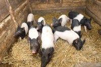 Weideschwein mit Ferkeln