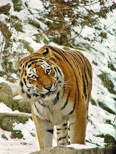 Tiger in the snow   Tambako the Jaguar