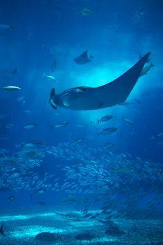 Churaumi aquarium, Okinawa, Japan