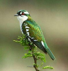 Cuclillo didric (Chrysococcyx caprius). Se encuentra en el África subsahariana y el sur de Arabia.