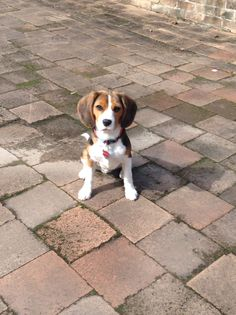 This is my beagle Snoop. He loves food